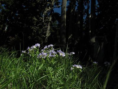 Polemonium californicum? (road to Timberline Lodge, from road 26, Mount Hood, Oregon)