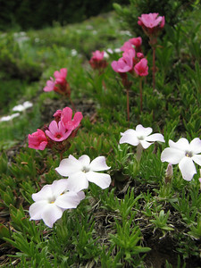 Douglasia laevigata var. ciliolata and Phlox diffusa (trail to Mount Townsend from upper trailhead)
