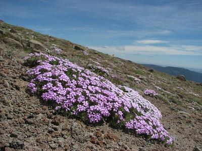 Phlox diffusa (Mountaineer Trail, Mount Hood, Oregon)