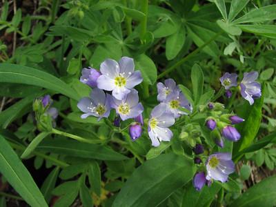 Polemonium spec. (Switchback Trail, Olympic Mountains)