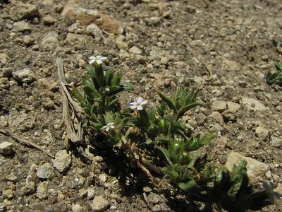 Microsteris gracilis, Andacolla, Las Oviejas – Los Tachos