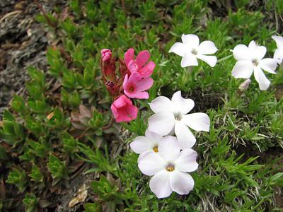 Douglasia laevigata var. ciliolata and Phlox diffusa (trail to Mount Townsend from upper trailhead)
