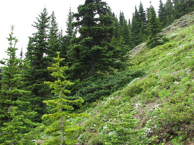 Phlox diffusa habitat (trail to Mount Townsend from upper trailhead)