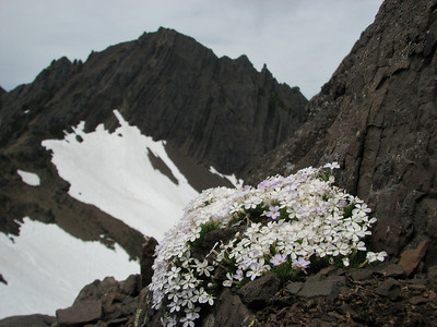 Phlox diffusa (Klahane Ridge, Olympic Mountains)