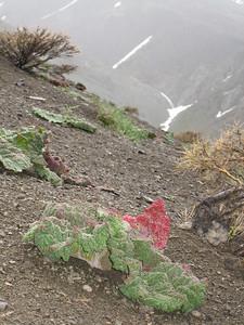 Rheum ribes on serpentine (Cirisli Geçidi, Karagöl Dağları, south of Çat)