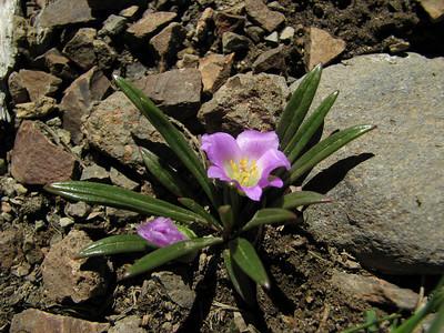 Calandrinia colchaguensis, Cerro Chapelco