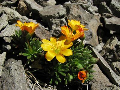 Calandrinia caespitosa ssp. skottsbergii, Cerro Chapelco