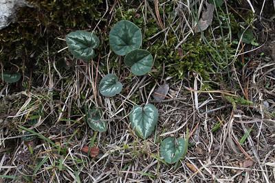 Cyclamen coum, which subspecies?