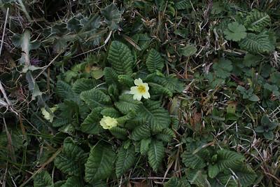 Short form of Primula elatior of Primula vulgaris?