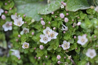 Anagallis alternifolia