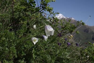 Pulsatilla violacea - an unusual pale form