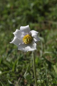 Pulsatilla violacea - a white form