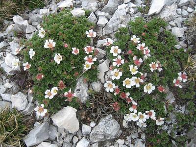 Potentilla clusiana (Hochobir, from Eisenkappler Hütte)