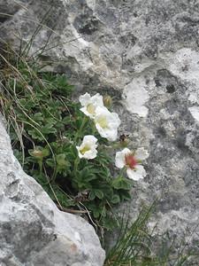 Potentilla clusiana (Bärental, Karawanken)