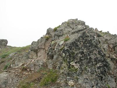 Saxifraga caespitosa (Mount Townsend, summit ridge)