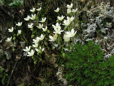 Saxifraga bronchialis var. vespertina (trail to Mount Townsend from upper trailhead)
