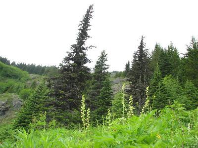 Tellima grandiflora (trail to Mount Townsend from upper trailhead)