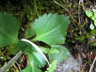 Micranthes rufidula (trail to Mount Townsend from upper trailhead)