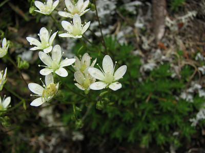 Saxifraga bronchialis var. vespertina (trail to Mount Townsend from upper trailhead)