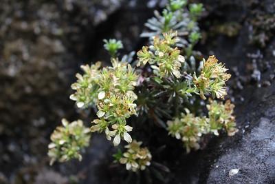 Saxifraga subverticillata, possibly a new subspecies