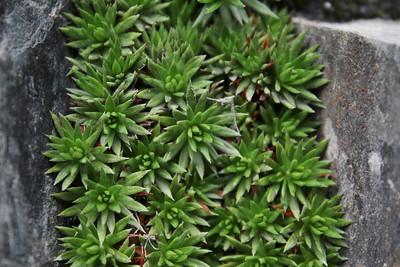 Saxifraga juniperifolia?