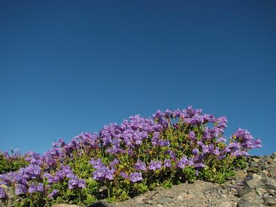 Penstemon davidsonii var. davidsonii (Near the Watchman, Crater Lake National Park, Oregon)