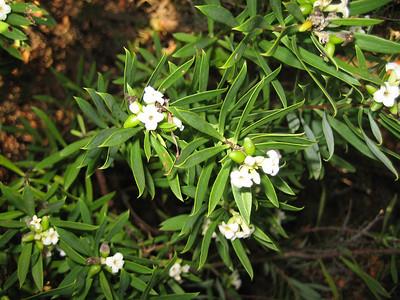 Daphne gnidium (Pilion)