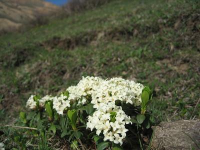 Daphne glomerata (Altindere Vadisi Milli Parki, south of Trabzon)