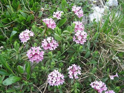 Daphne striata (Bärental, Karawanken)