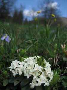 Daphne glomerata (Altindere Vadisi Milli Parki)