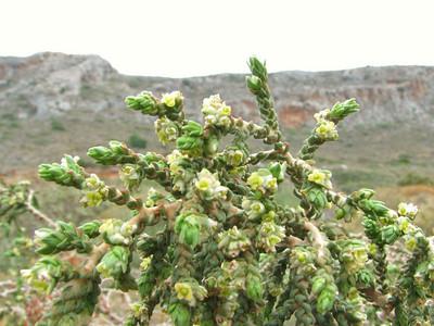 Thymelaea hirsuta (just south of Gefira, Malea Peninsula)