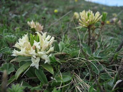 Daphne glomerata (Zigana Geçidi, 2200m)