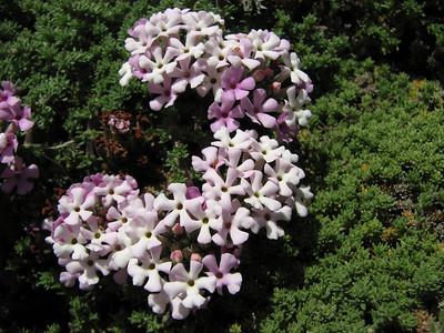 Junellia minutifolia (dwarf form, in the list as forma minutifolia or forma rosulata)