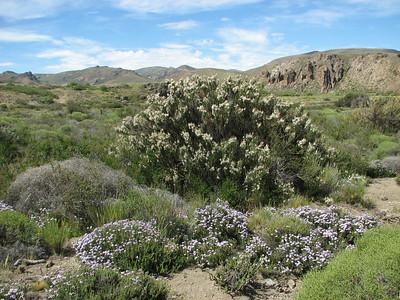 Junellia scoparia and Junellia succelentifolia