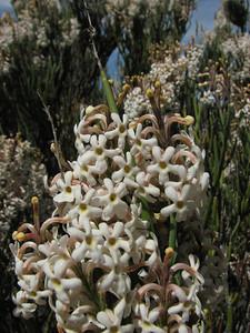 Junellia scoparia