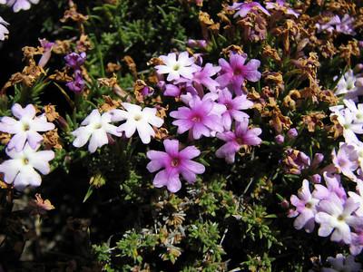 Junellia mulinoides