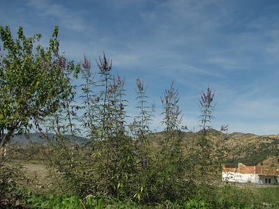 Vitex agnus-castus (Chefchaouen - Quazzane - Ain-Defali - Douyet - Fes)