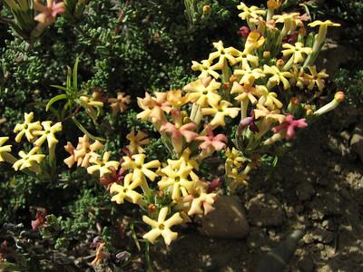 Junellia minutifolia (taller form, forma minutifolia or forma rosulata)