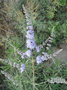 Vitex agnus-castus (near Hersonissos)