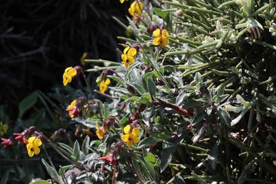 Viola scorpiuroides - a North African element in the Cretan flora