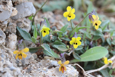 Viola scorpiuroides - a North African element in the Cretan flora