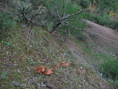 Crocus pulchellus and Suillus variegatus? -  fijnschubbige boleet in Dutch - (Along road between Balikesir and Dada, at about 350m altitude and about 35km east of Balikesir)
