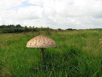 Fungus (Dellebuursterheide east of Olderberkoop, Overijssel, Netherlands)