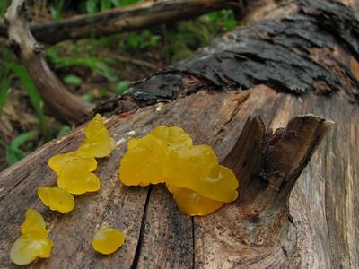Tremella mesenterica, fungus (Between trailhead Skyline Divede Trail and Skyline Divide Trail, near Mount Baker, Washington)