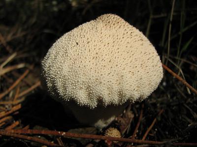 Lycoperdon spec., stuifzwamsoort in Dutch (Between Bursa and Uladag, about 1000m altitude)