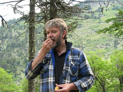 Group member eating Cyttaria hariotii (edible fungus), between Alumine to Moquehue