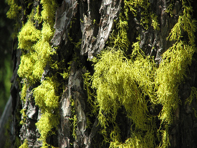 Letharia vulpina (this species is called Wolf lichen in the USA), this species was used to poison wolves, Letharia indicates deadly! (Mount Scot, Crater Lake National Park, Oregon)