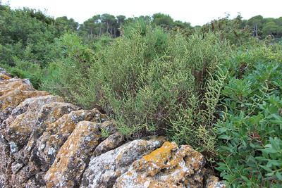Salicornia ramosissima? (SW part of Salobrar de Campos)