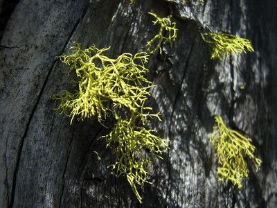 Letharia vulpina (this species is called Wolf lichen in the USA), this species was used to poison wolves, Letharia indicates deadly! (between Bigelow Lake and Mount Elijah, Oregon Caves National Monument)