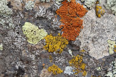 4 species of lichen: Xanthoria elegans (Rood dooiermos in Dutch, dark orange), Candelariella vitellina (Grove geelkorst in Dutch, dark yellow), Rhizocarpon geographicum (Landkaartmos in Dutch, pale yellow), Phaeophyscia orbicularis (Rond schaduwmos in Dutch, middle grey)